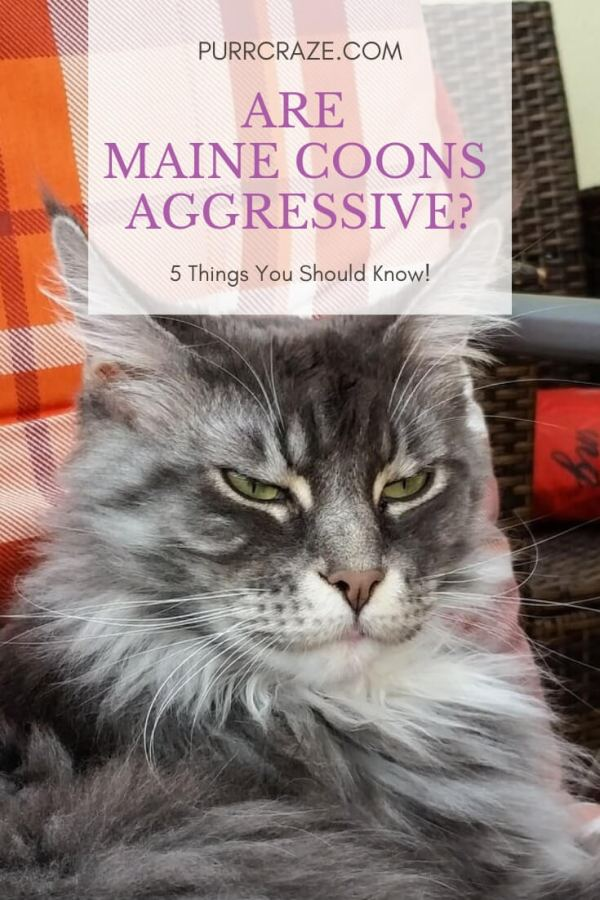 Are Maine Coon Cats Aggressive? 5 Things You Must Know