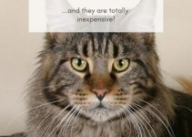 Are Maine Coon Cats Aggressive 5 Things You Must Know Purr Craze