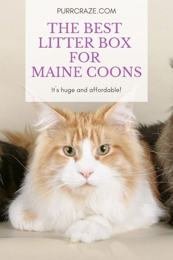 What Is The Best Maine Coon Litter Box? This One! | Purr Craze