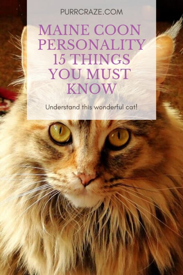 Maine Coon Personality 15 Things You Must Know Purr Craze