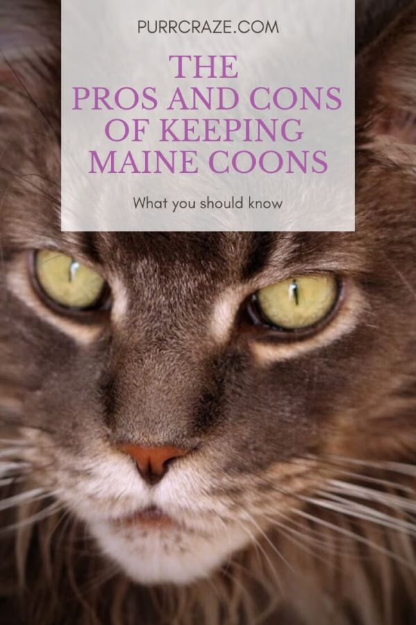 Maine Coon: Pros And Cons – Should You Get A Maine Coon