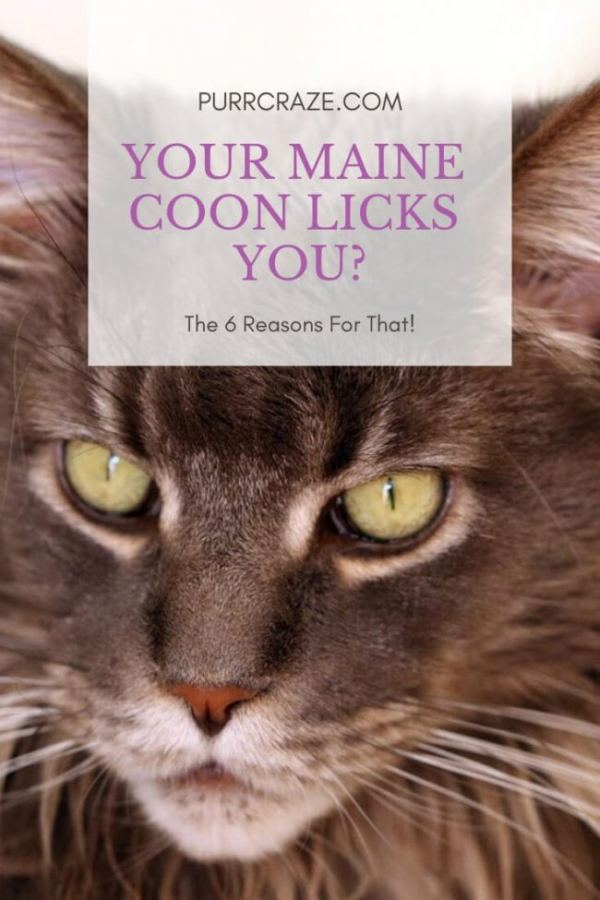 The 6 Reasons Why Your Maine Coon Licks You Purr Craze