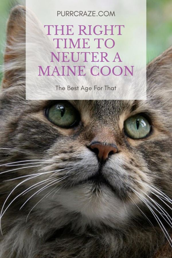 Why You Should Neuter Your Maine Coon At This Age Purr Craze
