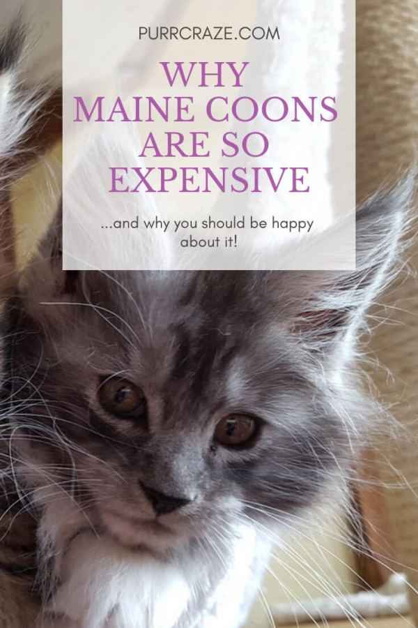 Why Are Maine Coon Cats So Expensive Here Is The Real Reason Purr Craze