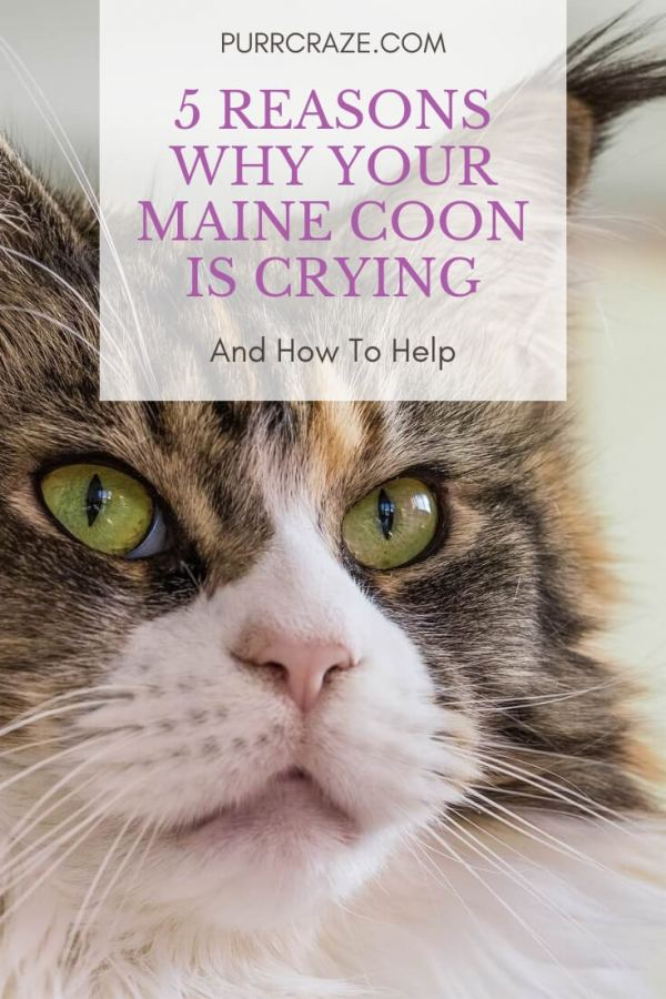 5 Reasons Why Your Maine Coon Is Crying | Purr Craze