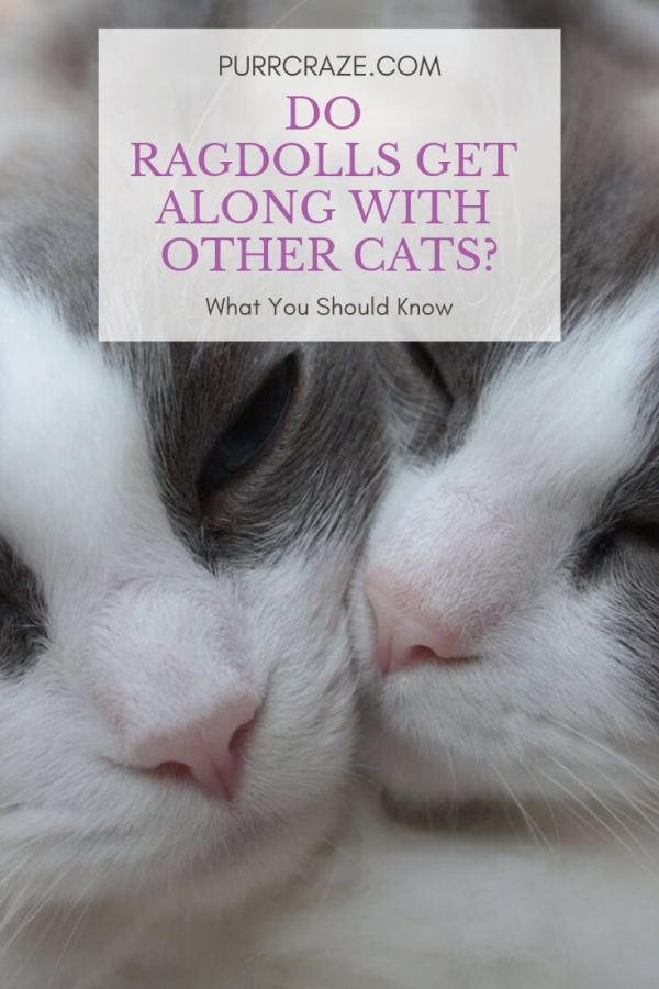 Do Ragdoll Cats Get Along With Other Cats? | Purr Craze