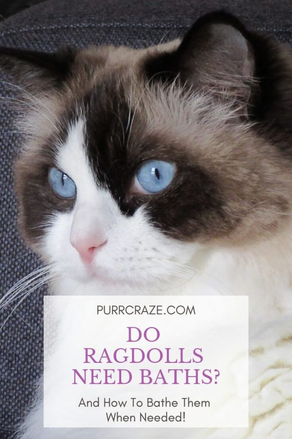 Do Ragdoll Cats Need Baths? | Purr Craze