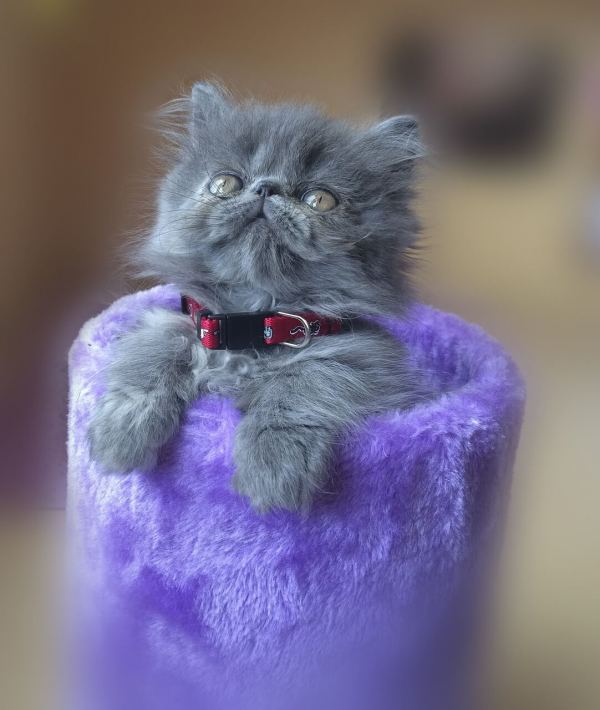 Here Is Why Persian Cats Are So Expensive Purr Craze