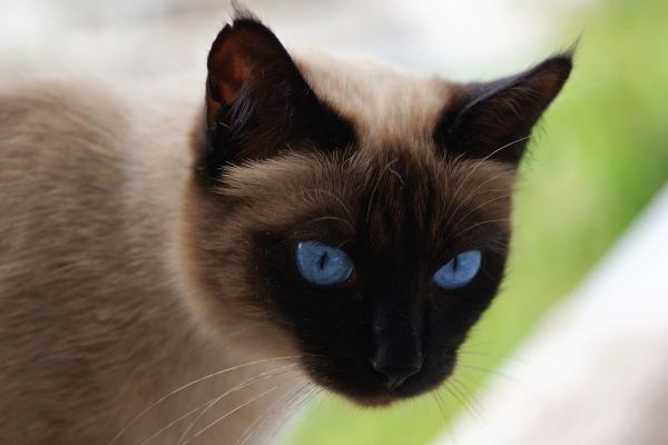 How Much Do Siamese Cats Cost Purr Craze