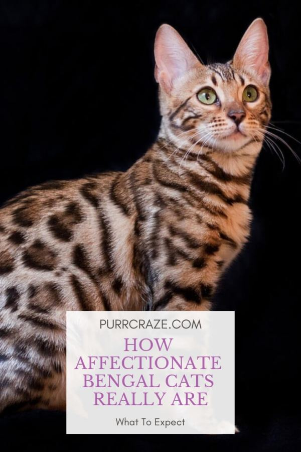 How Affectionate Bengal Cats Really Are Purr Craze