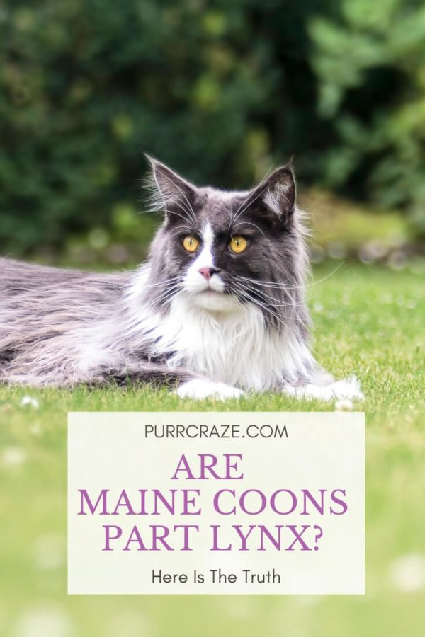 Are Maine Coons Part Lynx Here Is The Truth Purr Craze