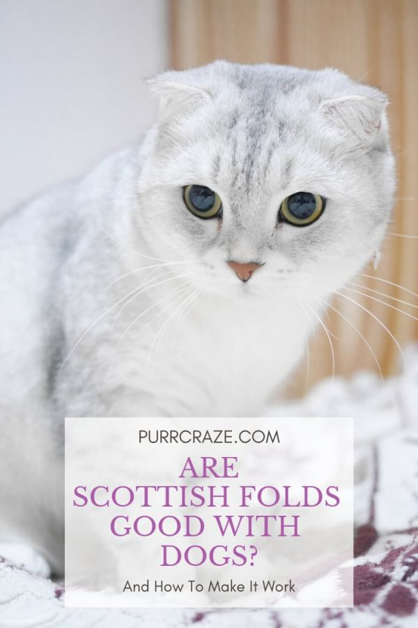 Are Scottish Fold Cats Good With Dogs Purr Craze