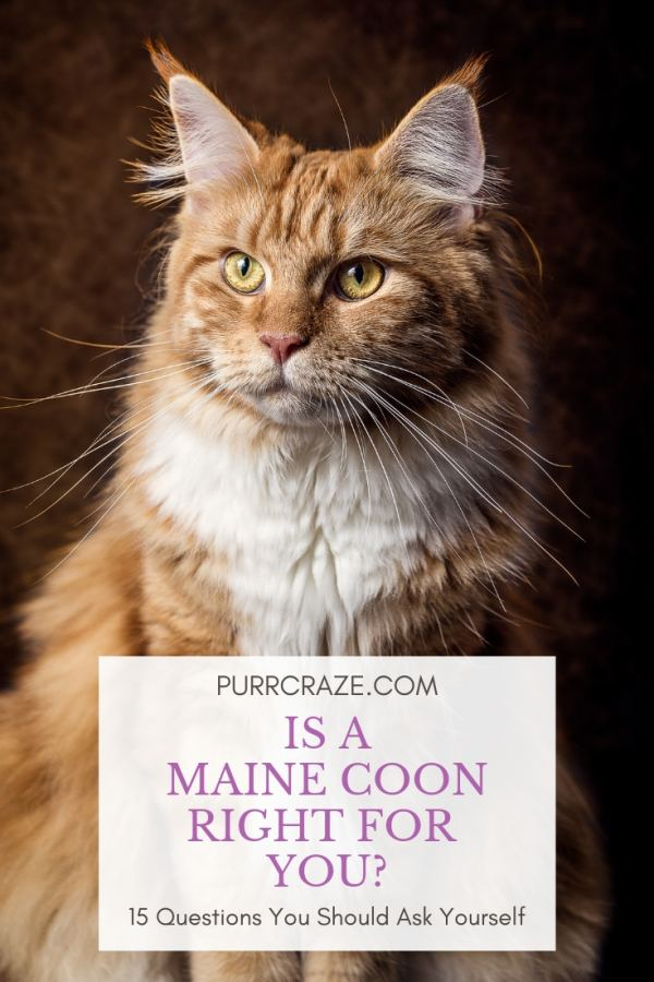 Is A Maine Coon Right For You? Answer These 15 Questions