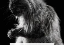 Are Maine Coon Cats Aggressive? 5 Things You Must Know | Purr Craze