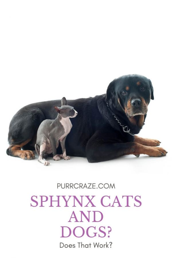 Are Sphynx Cats Good With Dogs? | Purr Craze
