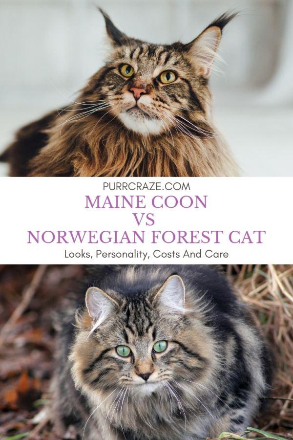 Maine Coon Vs Norwegian Forest Cat Important Differences Purr Craze