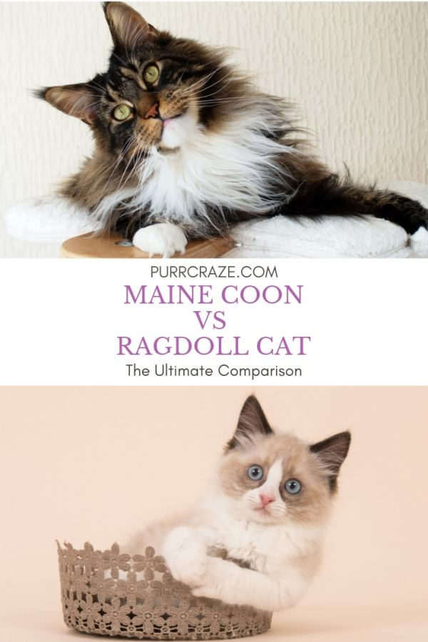 Maine Coon vs Ragdoll Cat – Which Breed Suits You? | Purr Craze