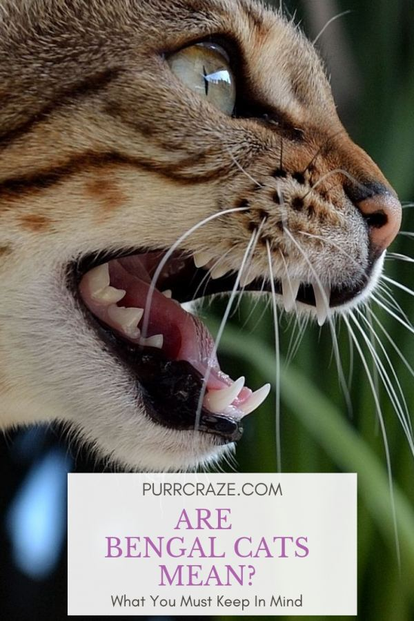 Are Bengal Cats Mean What You Must Keep In Mind Purr Craze