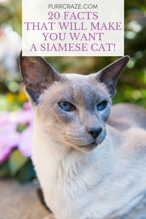 20 Facts That Will Make You Want A Siamese Cat Purr Craze