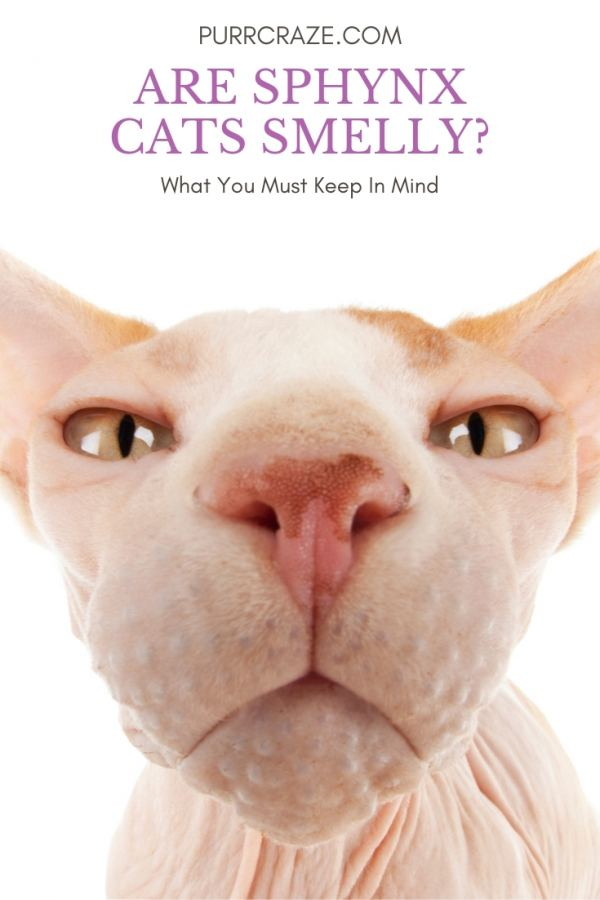 Are Sphynx Cats Smelly What You Must Keep In Mind Purr Craze