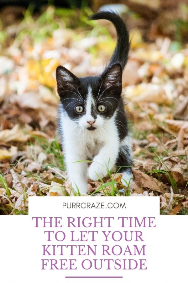 The Right Time To Let Your Kitten Roam Free Outside Purr Craze