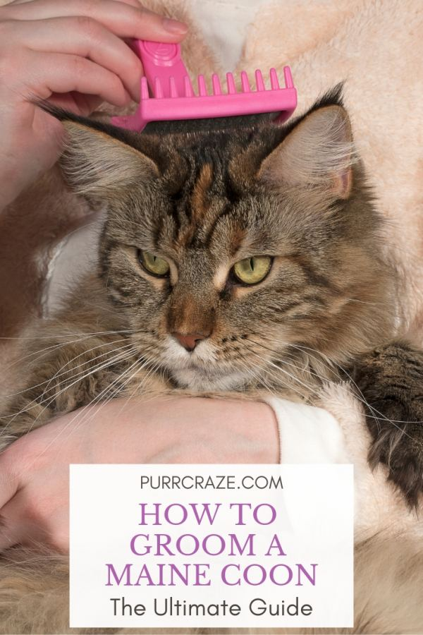 The Ultimate Guide To Grooming Your Maine Coon Purr Craze