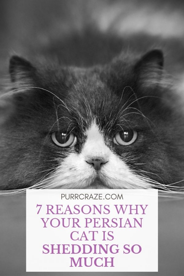 7 Reasons Why Your Persian Cat Is Shedding So Much Purr Craze
