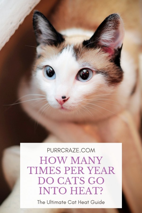 How Many Times A Year Do Cats Go Into Heat Guide Purr Craze