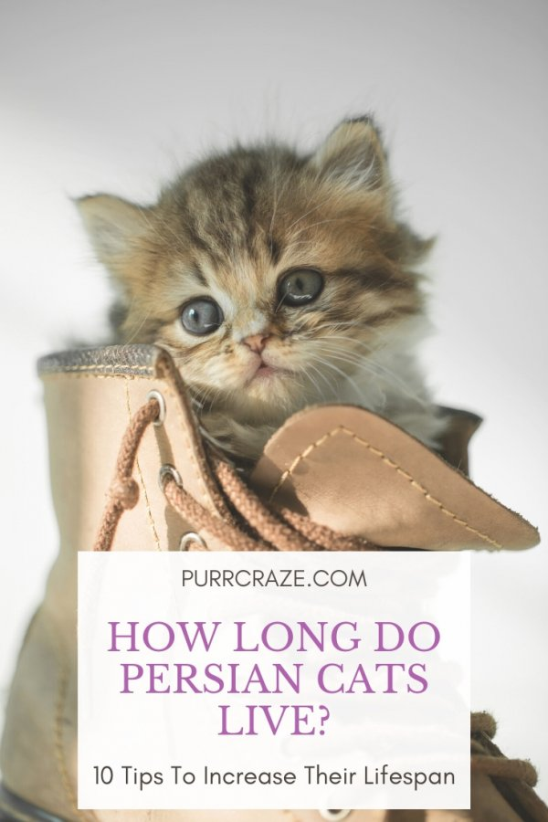 Persian Cat Lifespan How Long Do Persian Cats Live Purr Craze