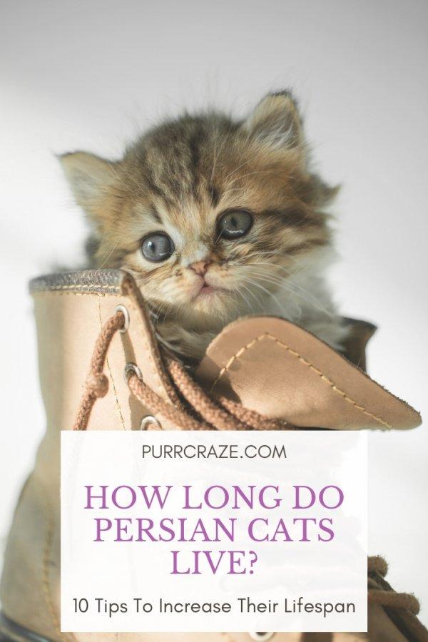 Persian Cat Lifespan How Long Do Persian Cats Live Purr Craze