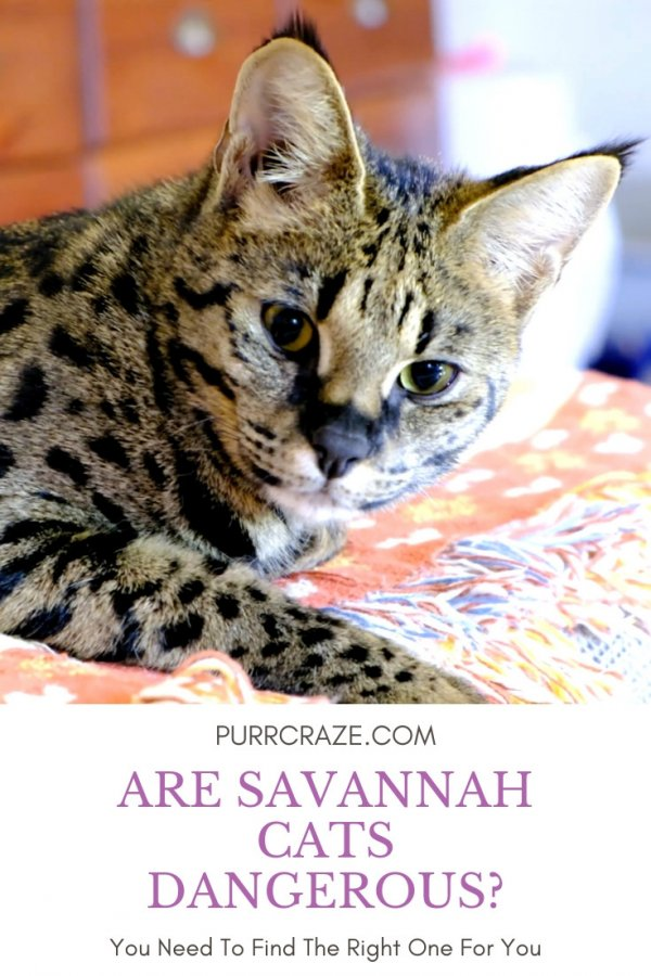 Are Savannah Cats Dangerous What To Keep In Mind Purr Craze
