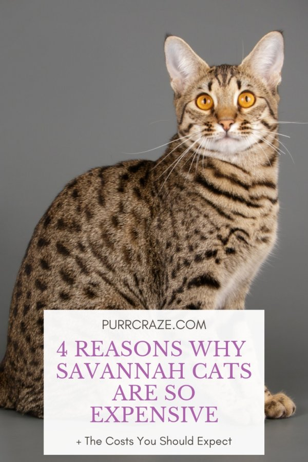 4 Reasons Why Savannah Cats Are So Expensive Purr Craze