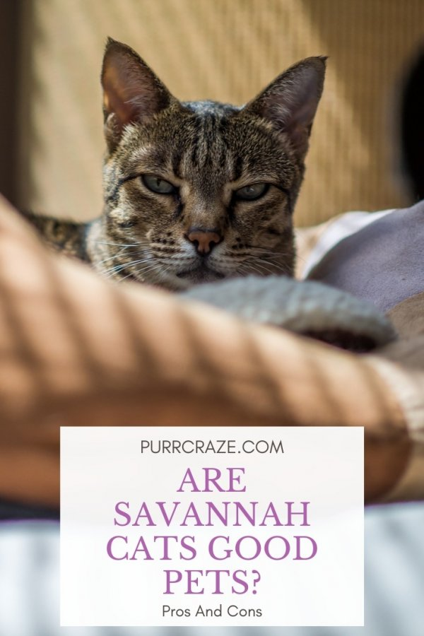 Do Savannah Cats Make Good Pets Pros And Cons Purr Craze