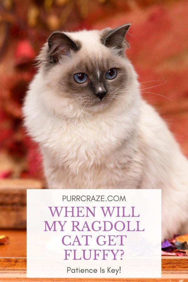 When Will My Ragdoll Cat Get Fluffy Purr Craze