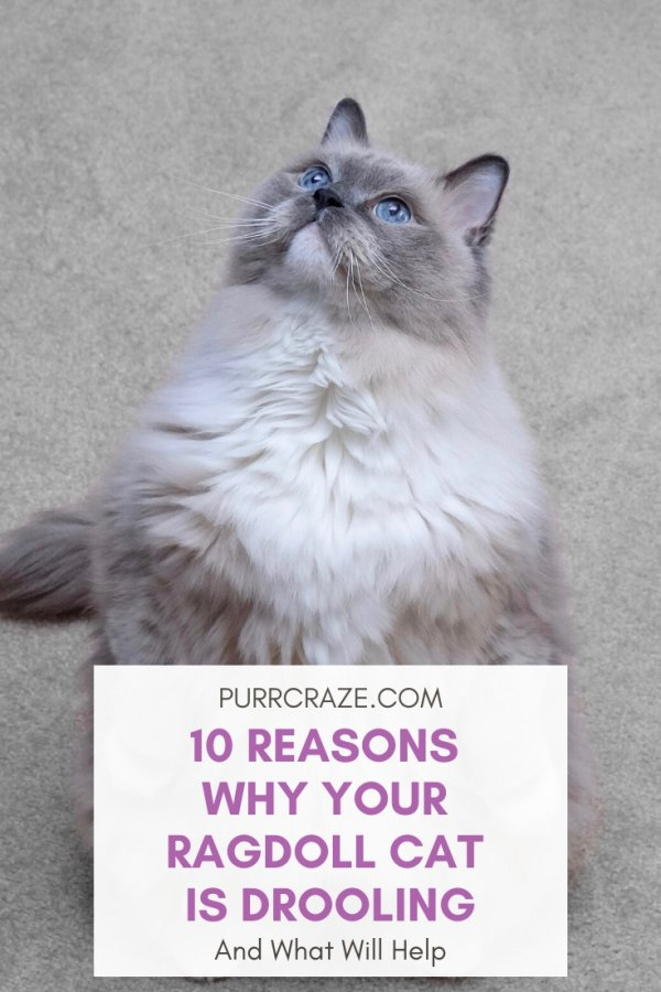 Do Ragdoll Cats Drool 10 Causes And What Will Help Purr Craze